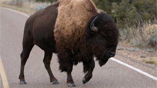 72 Year Old Woman Gored By A Bison At Yellowstone National Park