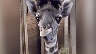 Funny! Baby giraffe sticks out tongue - ABC15 Digital