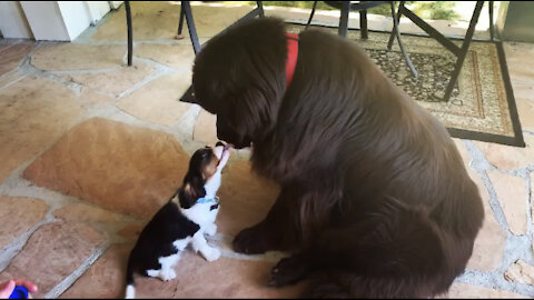 Huge Newfoundland meets tiny Cavalier Spaniel puppy for the first time