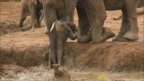 Elephants rush over to help youngster out of muddy bank