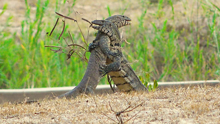Vicious Battle Between Two Monitor Lizards Caught On Video | SNAPPED IN THE WILD - Video