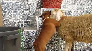 Excited Boxer Puppy Can't Stop Kissing Sheep