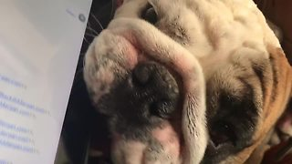 Needy Bulldog Makes It Difficult To Work From Home - Video
