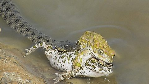 Cock-blocking snake! Hungry serpent interrupts mating toads – before eating one of them