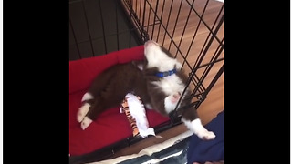 Puppy Takes A Nap By Tilting Its Head Backwards