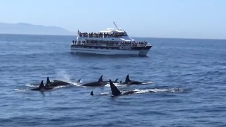 Friendly Orcas Put on a Show for Boaters in Monterey Bay, California - Video