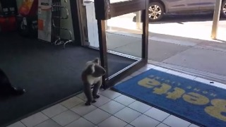 Koala Wanders Into Electrical Store Browsing For Home Appliances - Video