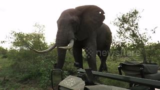 Incredible video shows couple's tense standoff with big elephant bull - Video