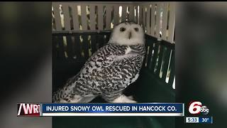 Injured snowy owl rescued in Hancock County - Video