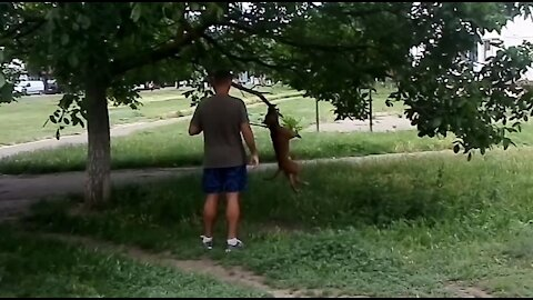 Pit bull jumping on a tree branch