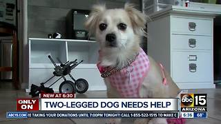 Wheelchair-bound dog asking for prosthetic legs for Christmas - Video
