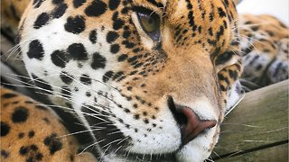 Jaguar Attacked Woman On Phone Snapping Selfie