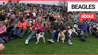 Beagle owner wins Guiness World Record for organising largest single-breed dog walk