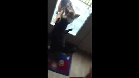 Angry cat chases off intruding German Shepherd