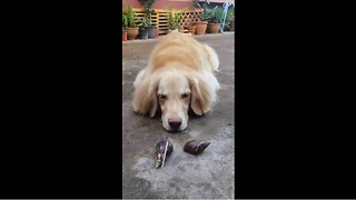 Golden Retriever humorously confused by pair of snails