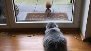 Cat dangerously obsessed with squirrel
