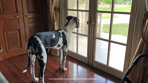 Great Dane Puppy's Bark Changes From Playful To Protective