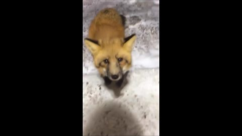 Fox in Northwest Territories walks right up to diamond miners