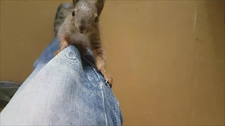 Rescued baby squirrel loves playtime with caretaker