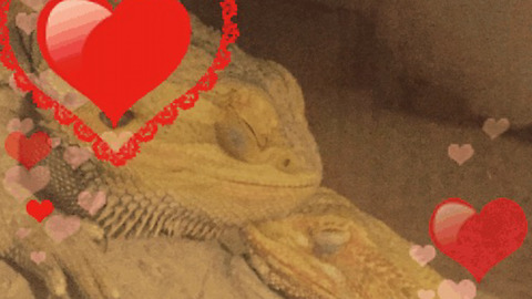 Male & Female Bearded Dragons Go Crazy when Reunited