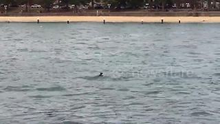 Wallaby stuns ferry passengers in Sydney Harbour - Video