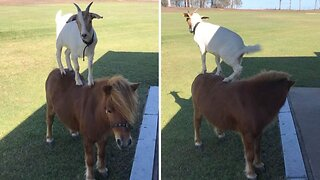 Goat Learns To Ride On Best Friend Horse's Back