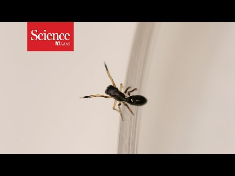 This spider looks (and walks) like an ant