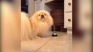 Fluffy Dog Rings Bell For Attention - Video