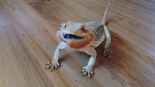 Bearded Dragon Goes Nuts For Blueberries