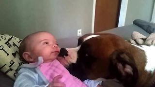 Loving Boxer gives 2-month-old baby a kiss - Video
