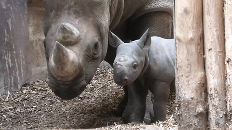 Rhino mom introduces 9-day-old baby at zoo