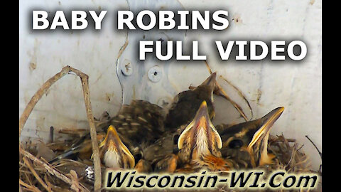 Baby Robins in Nest with Surprise Visitor FULL VIDEO UNEDITED - Landman Realty LLC
