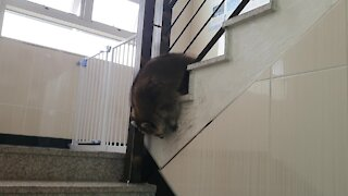 Pet raccoon finds creative way to go down the stairs