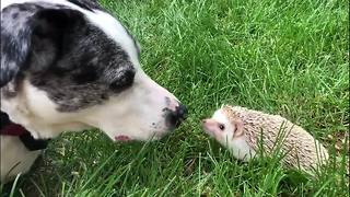 Pure sweetness as rescue dog and hedgehog meet nose to nose - Video