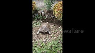 Headbanger! Unlucky turtle slides down slope - and gets stuck