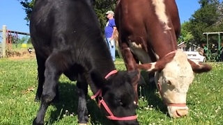 Dudley and Destiny: The world's happiest cow couple - Video