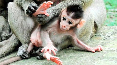 Adorable Baby Monkey Need Mom Grooming And Raise Up Leg