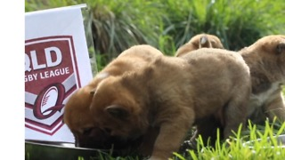 Dingo Puppies Tip Maroons for State of Origin Win - Video