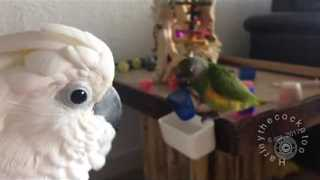 Cockatoo Keeps a Watchful Eye on Baby Brother - Video