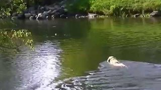 Daring Dog Attempts Brave River Rescue of Tennis Ball - Video