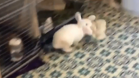 Rabbit plays His own way At Home