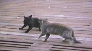 Two Cats Fight Fiercely - Video