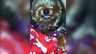 """""""Yorkshire Terrier Dog Learns How to Smile: Say """"Cheese!"""""""""""