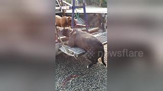 Chubby bulldog gets stuck after leaping into pick up truck - Video