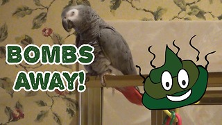 Parrot says 'Bombs Away' for hysterical reason  - Video
