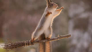 red squirrels on a broom - Video