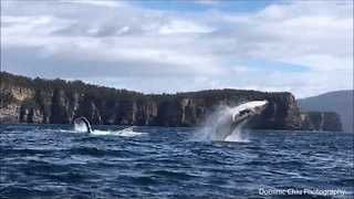 Humpback Whales Stun Onlookers in Tasmania - Video