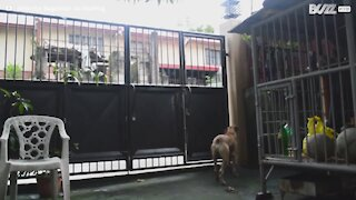 Clever dog jumps backyard gate to play on street