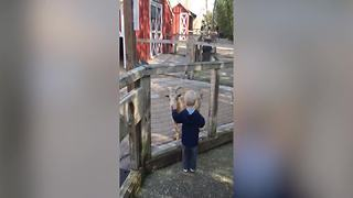 Funny Goat Scares Little Boy - Video