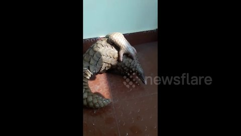 Mother and baby pangolin taste freedom after being rescued from poachers